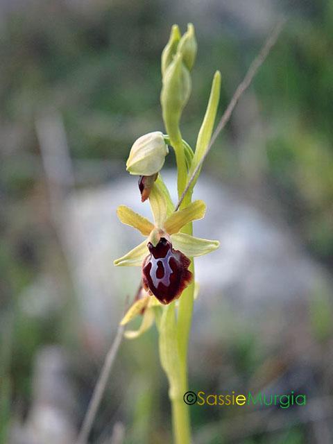 sei-su-immagine-raffigurante-una-variopinta-orchidea-solitaria-nel-vallone-della-loe