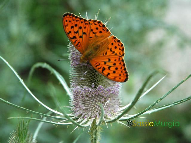 sei-su-immagine-raffigurante-una-variopinta-farfalla-sul-cardo-dei-lanaioli
