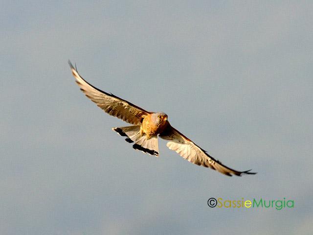 sei-su-immagine-raffigurante-un-maschio-di-falco-grillaio-in-volo-nel-cielo-sopra-la-murgia-materana