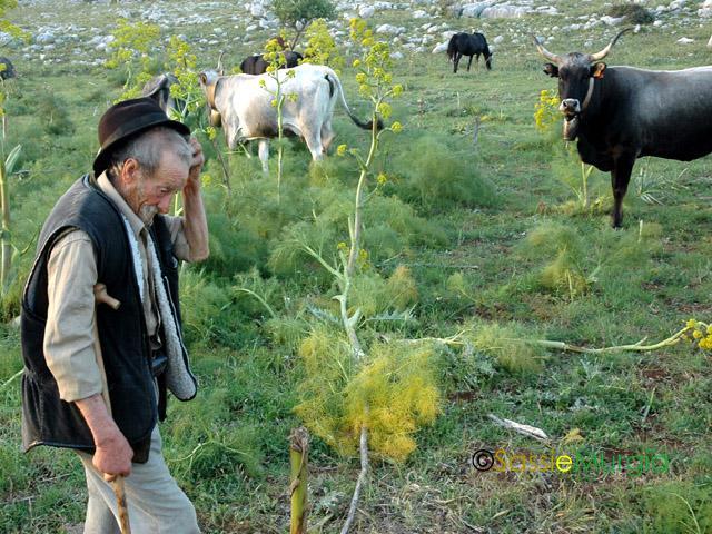 sei-su-immagine-raffigurante-il-pastore-don-peppino-sulla-murgia-materana-mentre-pascola-vacche-podoliche