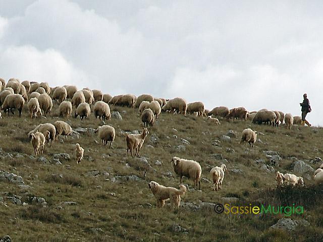 sei-su-immagine-raffigurante-un-gregge-di-pecore-al-pascolo-sulla-murgia-materana