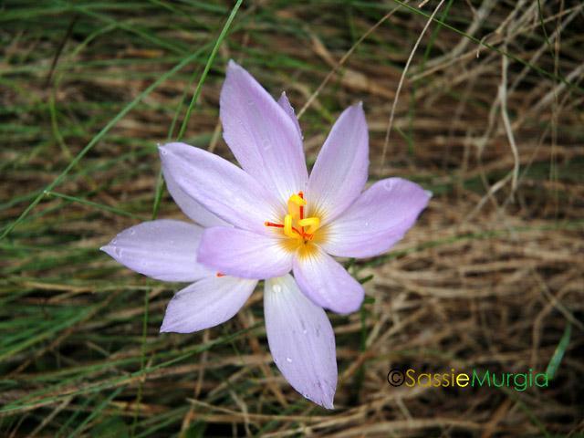 sei-su-immagine-raffigurante-il-fiore-chiamato-zafferano-di-thomas