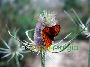 Sei-su-immagine-raffigurante-una-farfalla-posata-sul-cardo-dei-lanaioli